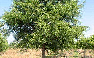 Bald Cypress – Taxodium distichum