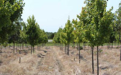 Brandywine Maple – Acer rubrum brandywine