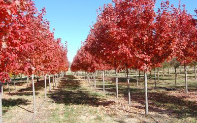 October Glory Maple – Acer rubrum october glory