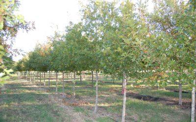 Shumard Oak – Quercus shumardii